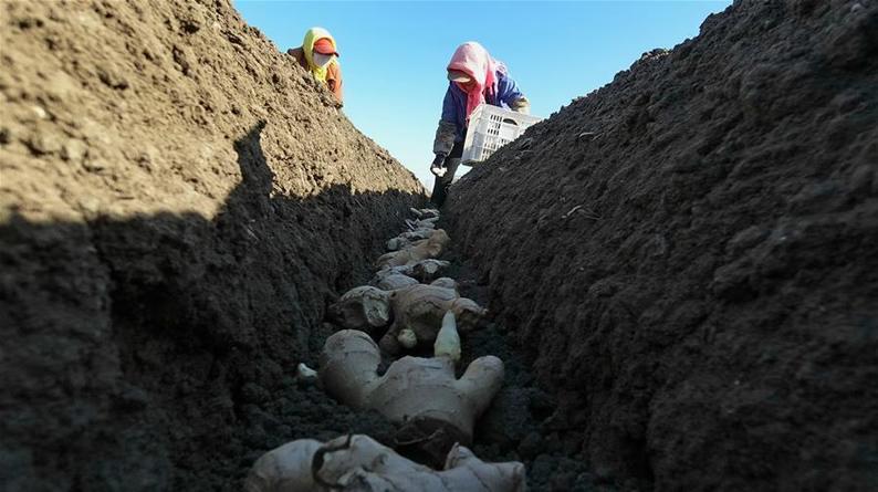 河北唐山:抢农时 种生姜