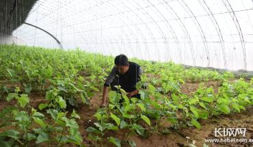 卢龙县:特色农业促增收