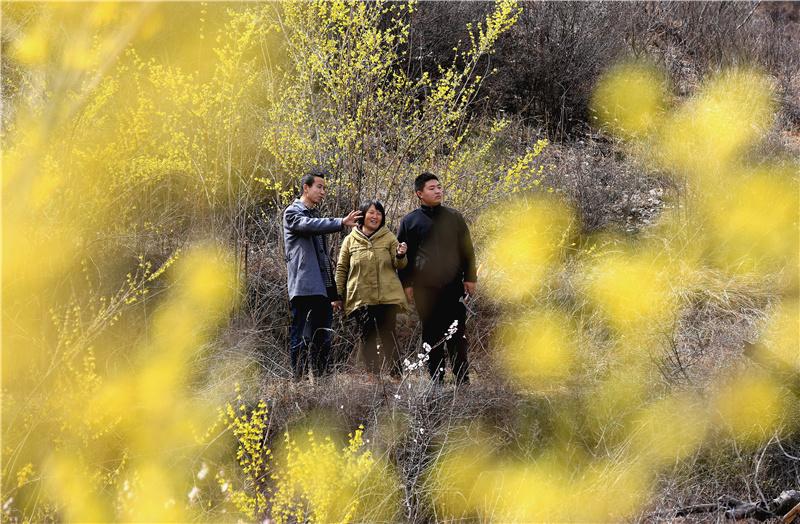 河北武安市:连翘种植助农增收