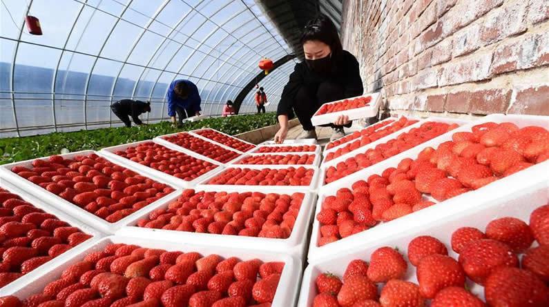 河北滦州:抓生产助增收