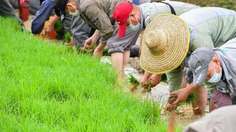 广州:城市稻田插秧忙
