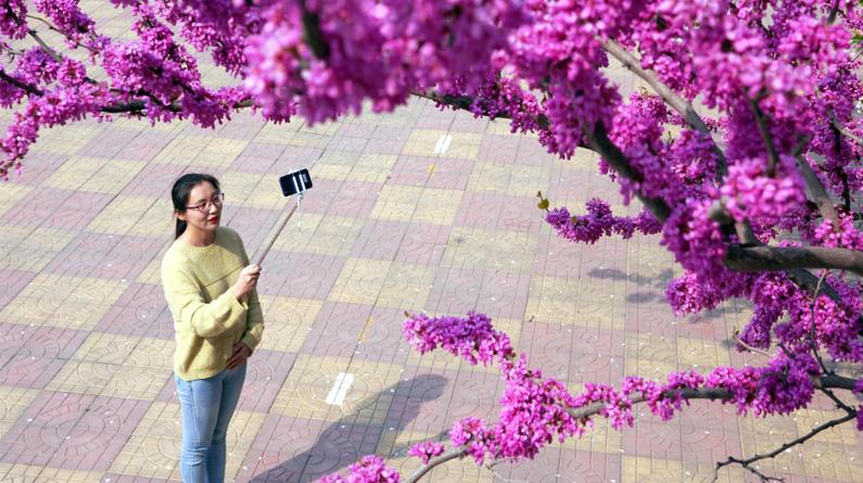 【高清组图】河北内丘:校园直播 云上赏花