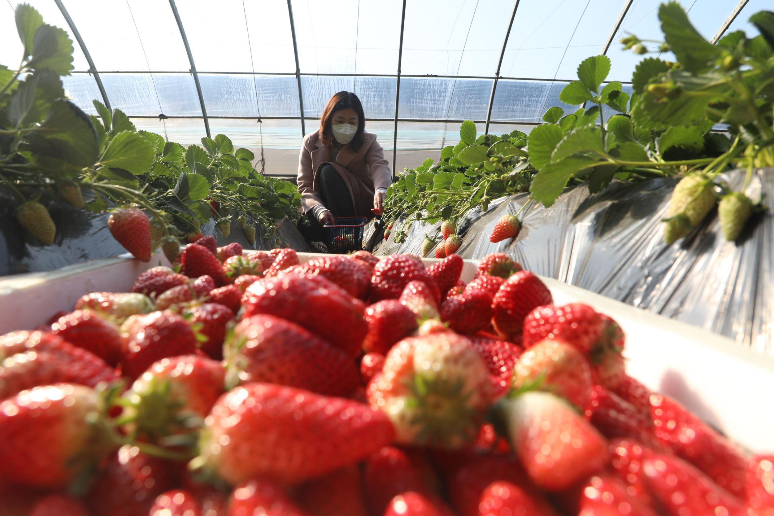 唐山丰润:草莓成熟
