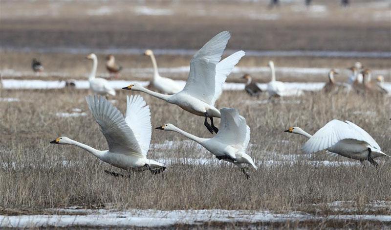 河北张北:坝上湿地候鸟舞