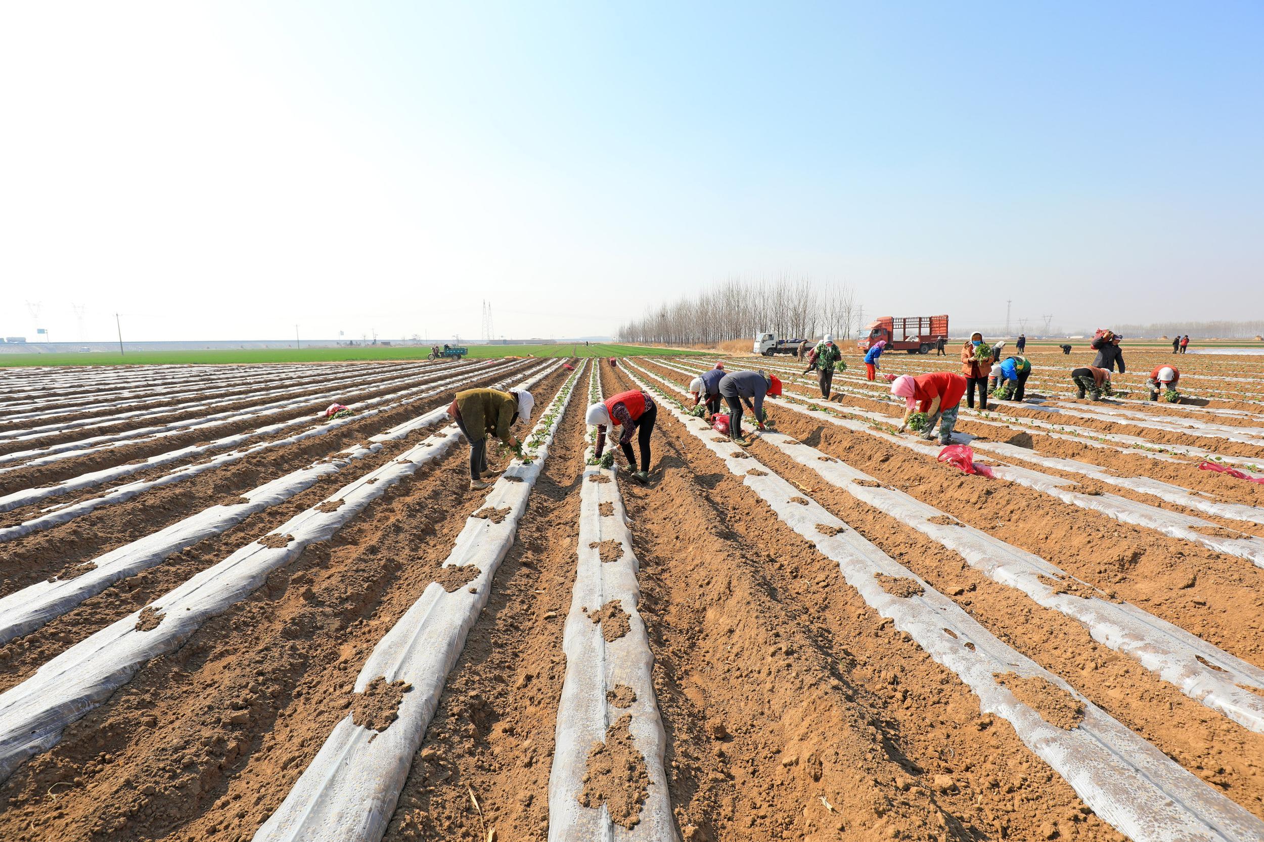 唐山滦南:红薯栽种忙