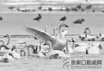 张家口张北:冰雪消融候鸟舞