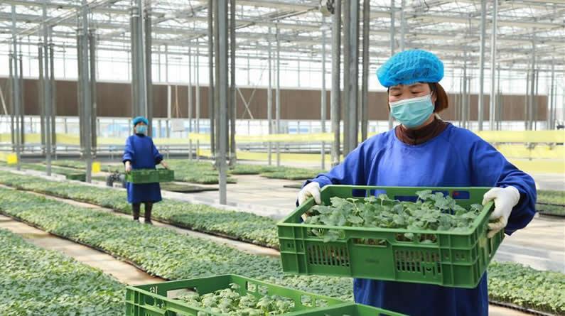 河北南和:扶贫大棚育苗忙