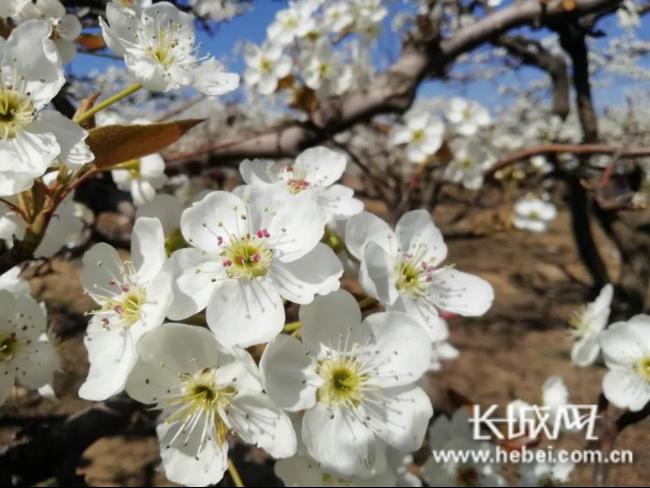 曲阳2万亩梨花进入最佳赏花期