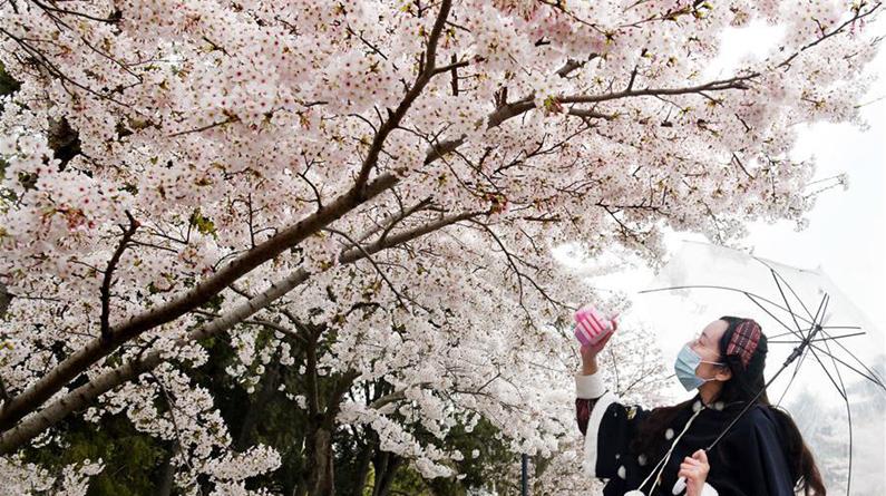 青岛中山公园樱花绽放