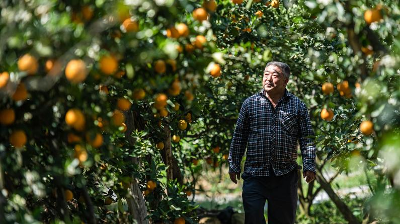 贵州毕节:橙香满园
