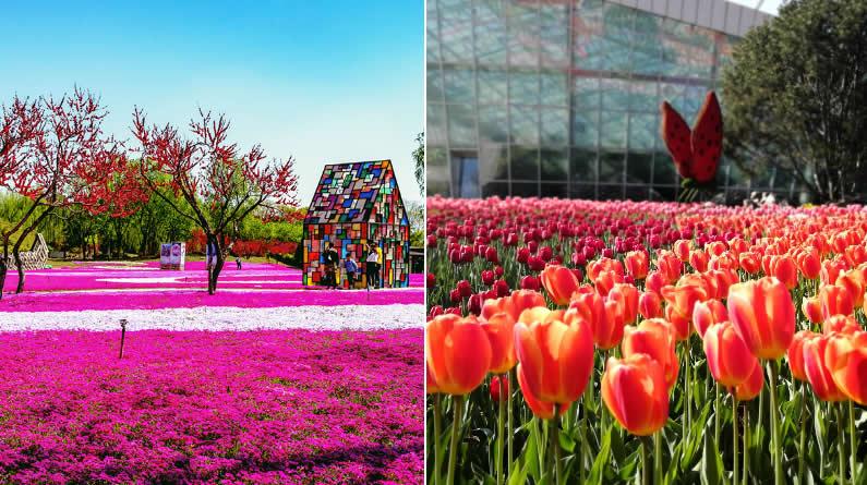 芝樱花毯、郁金香海洋、樱花梦境…… 美哭了!彩妆植物园