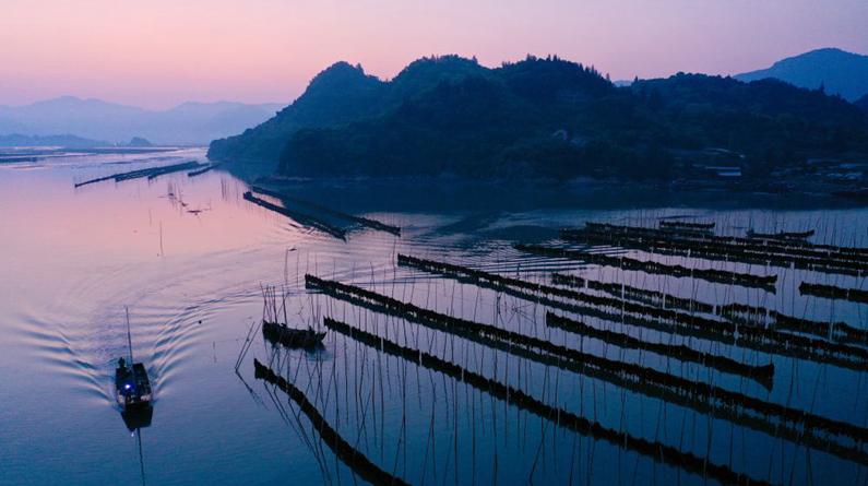 福建霞浦:海带迎来收获季