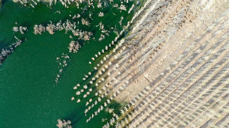 新疆阿勒泰:戈壁滩上育树苗 中水回用助力绿化工程