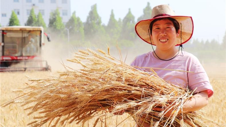 龙8娱乐网页版:麦收时节收麦忙