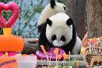 中国大熊猫保护研究中心举办2019级熊猫宝宝集体生日会