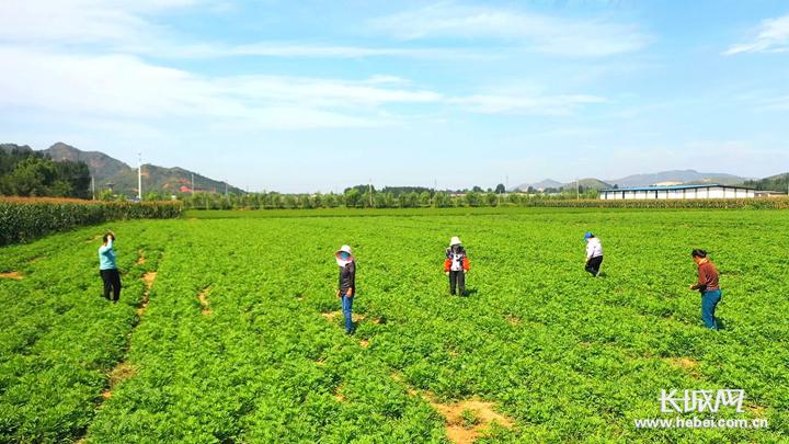 灤州九百戶鎮:小小中藥材 致富大產業