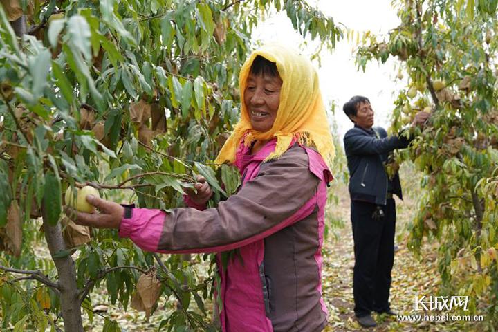 河北黄骅:特色冬桃喜丰收 助农增收又致富