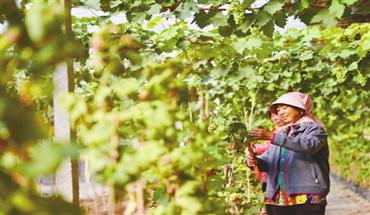 威縣:葡萄種植拓寬增收渠道