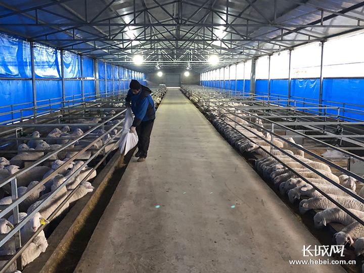 河北孟村:養雞喂羊 傳統產業
