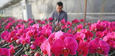 河北灤南:蝴蝶蘭花開迎新年