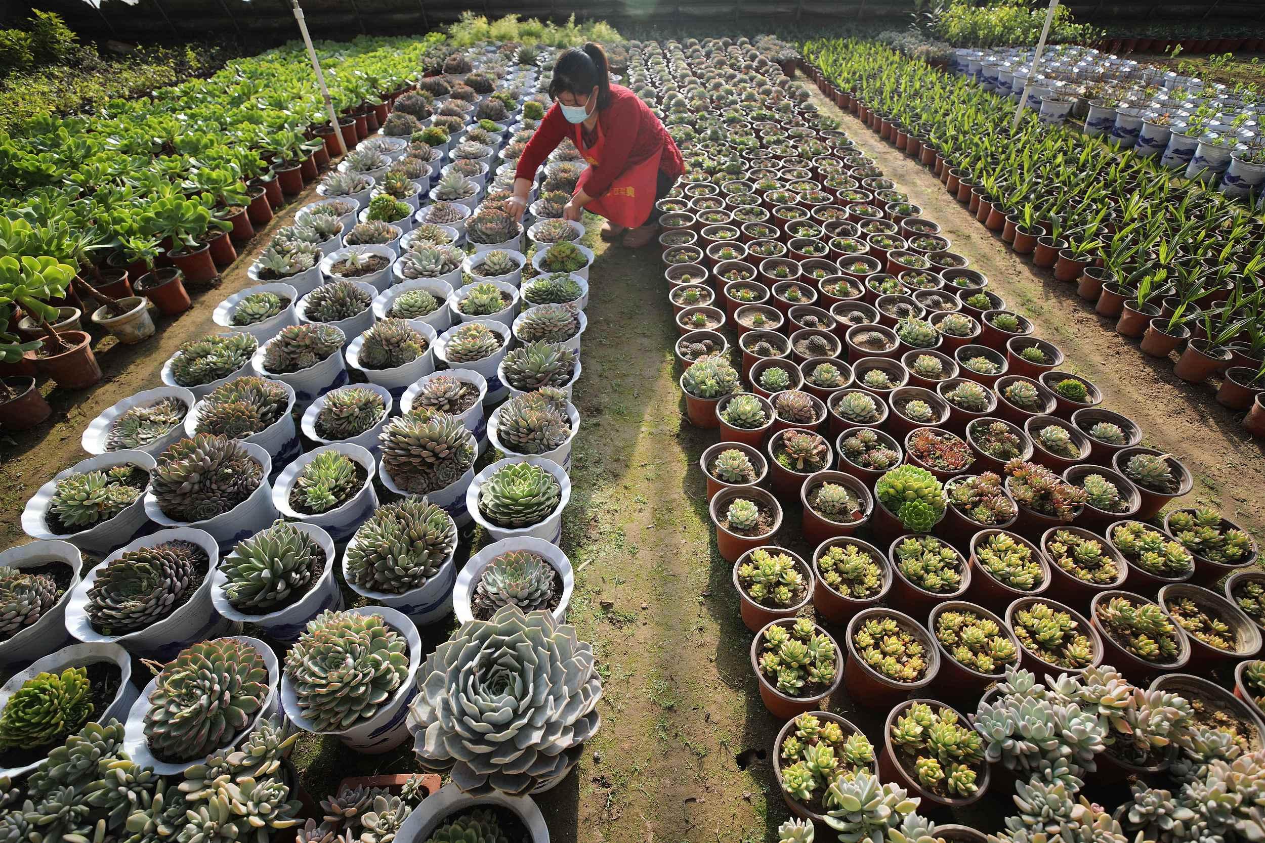 河北承德:盆栽鲜花销售升温