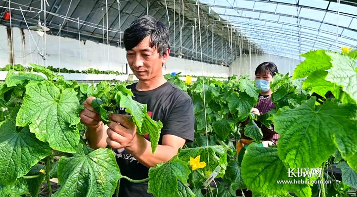 """河北昌黎:""""蔬菜之乡""""生产忙"""