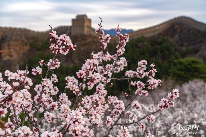 杏花開了!第九屆金山嶺長城杏花節4月2日開幕