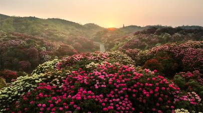 貴州百里杜鵑進入盛花期