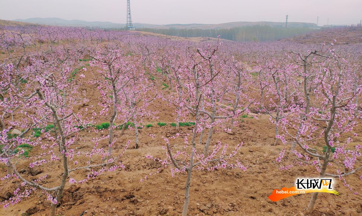 曲阳:5000亩桃花盛开迎客来