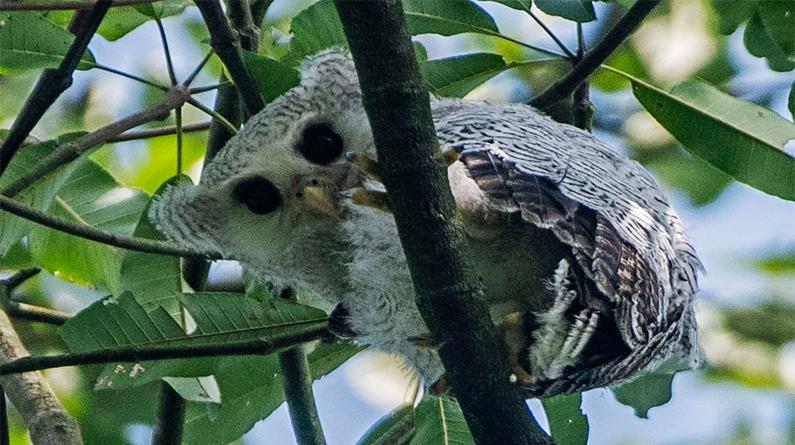 树上的马来雕鸮幼雏