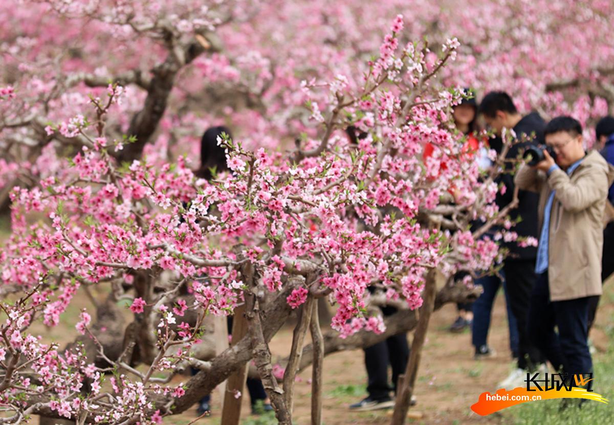 河北沧县:千亩桃花绽放 引来众多游人