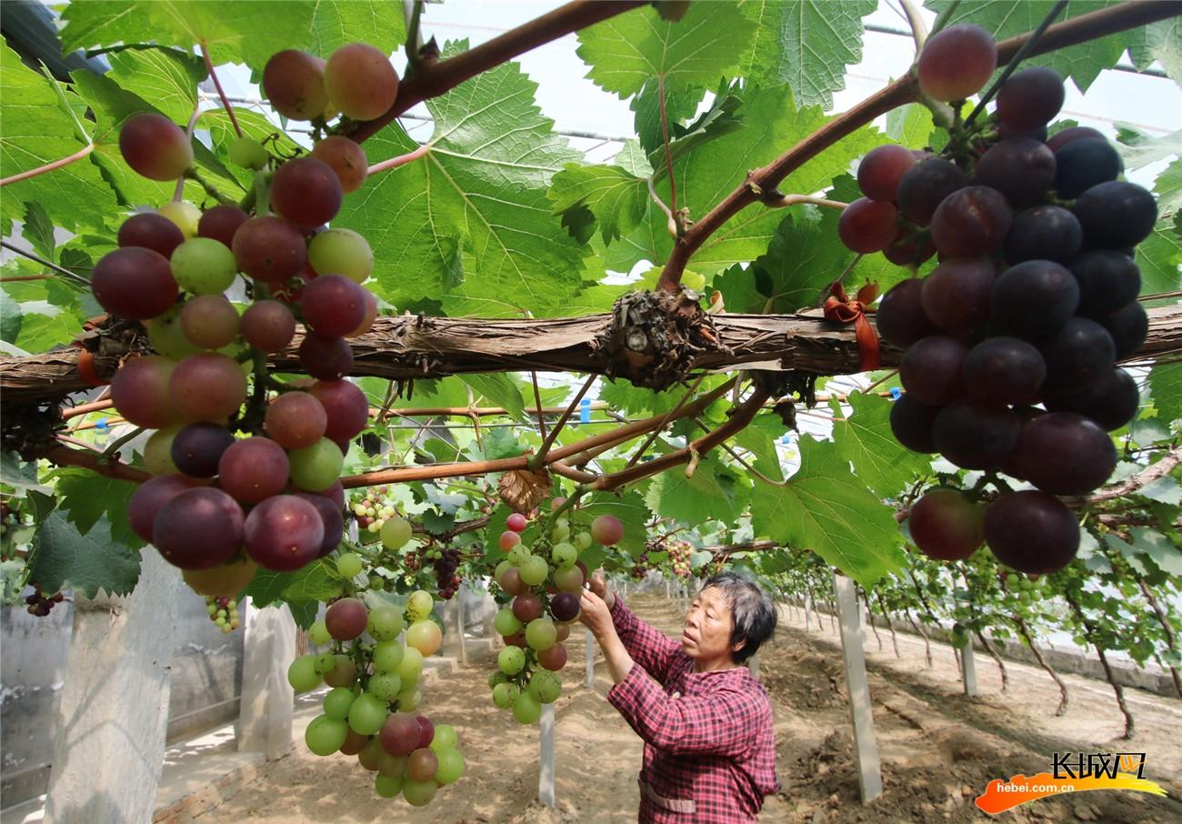 【高清组图】 河北永年:谷雨将至农事忙