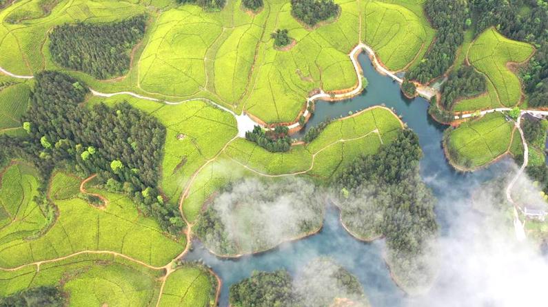 湖北鹤峰:茶海连天景如画