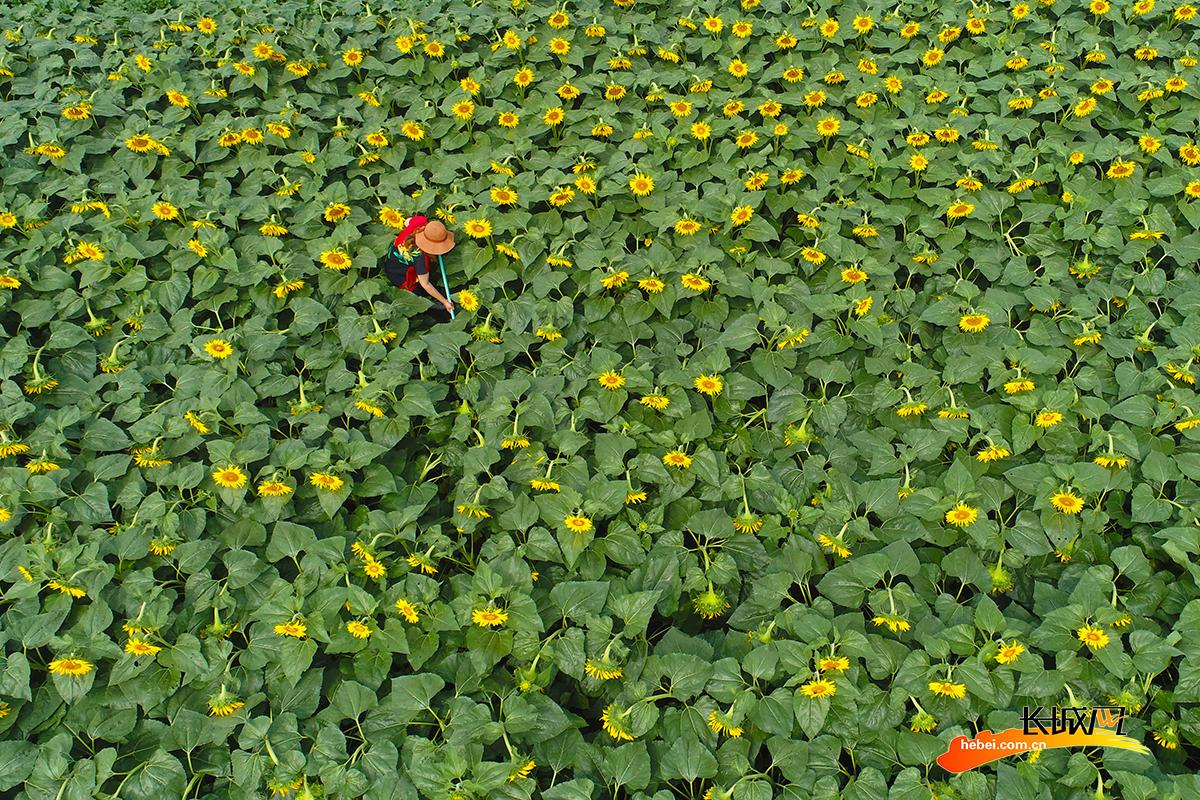 唐山豐潤:小暑時節農事忙