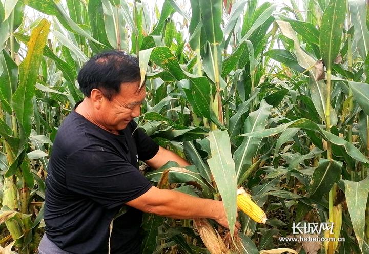 河北易县:玉米丰收景 颗粒归仓忙