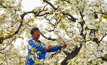 昌黎:百年梨园花香浓