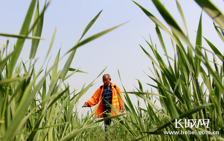 永清:谷雨时节农事忙